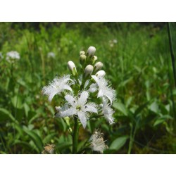 Menyanthes trifoliata L, dry stems - 10 g