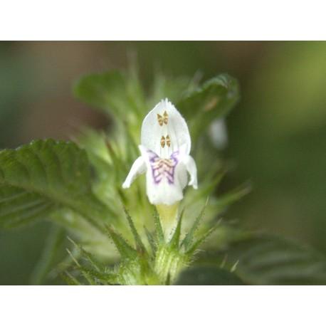 Петниста бударица - Galeopsis tetrahit