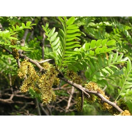 Гледичия - Gleditsia triacanthos L.