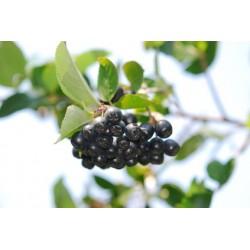 Арония - Sorbus melanocorpa