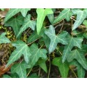 Ivy (Hedera helix L.), dried leaves - 40 g