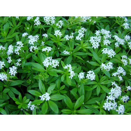 Sweet Woodruff (Asperula Odorata), dried leaves, 25 g